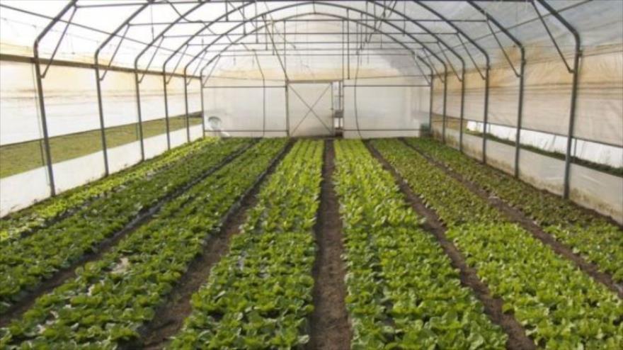 توسعه کشت گلخانه ای در مهاباد